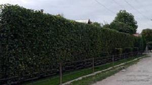 изгородь из боярышника